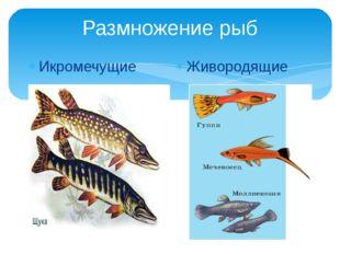 Размножение рыб Икромечущие Живородящие