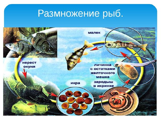 Размножение рыб.
