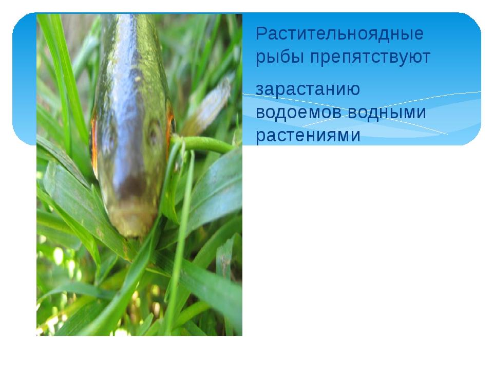 Растительноядные рыбы препятствуют зарастанию водоемов водными растениями