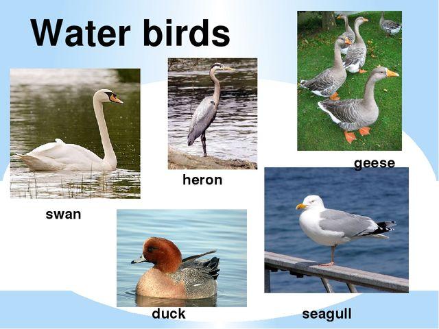 Water birds swan seagull duck geese heron