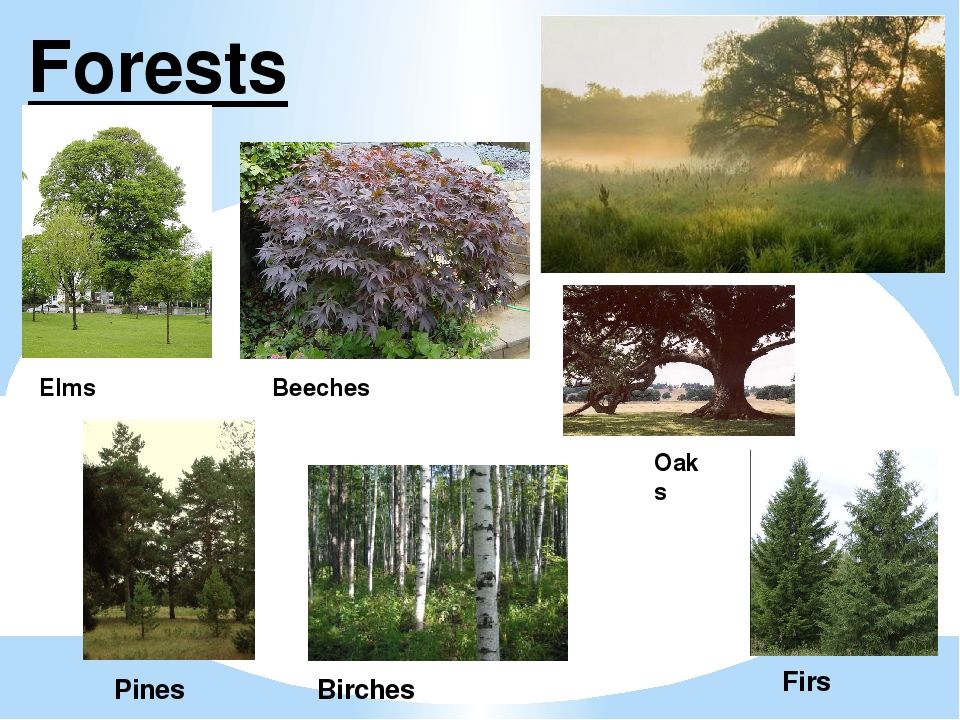 Forests Elms Beeches Oaks Pines Birches Firs