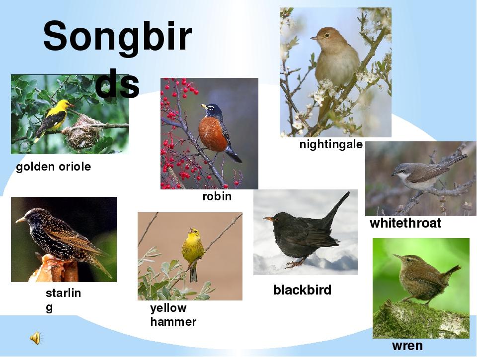 Songbirds nightingale golden oriole robin starling yellow hammer blackbird wh...