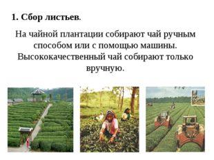 1. Сбор листьев. На чайной плантации собирают чай ручным способом или с помощ