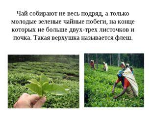 Чай собирают не весь подряд, а только молодые зеленые чайные побеги, на конце
