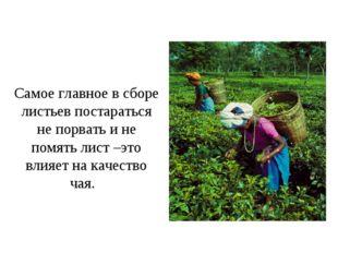 Самое главное в сборе листьев постараться не порвать и не помять лист –это вл