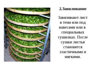 2.Завяливание Завяливают лист в тени или под навесами или в специальных сушил