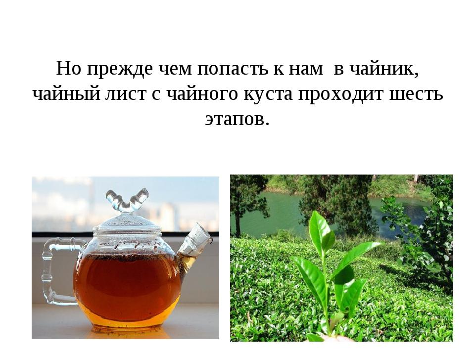 Но прежде чем попасть к нам в чайник, чайный лист с чайного куста проходит ше...