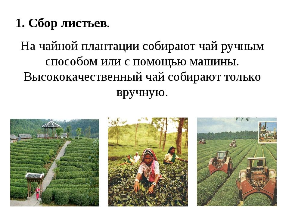 1. Сбор листьев. На чайной плантации собирают чай ручным способом или с помощ...