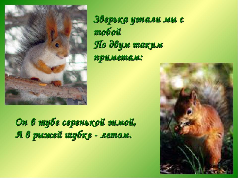 Зверька узнали мы с тобой По двум таким приметам: Он в шубе серенькой зимой,...