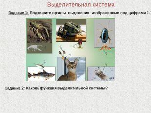 Выделительная система Задание 1: Подпишите органы выделения изображенные под