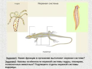 Задание1: Какие функции в организме выполняет нервная система? Задание2: Како