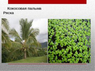 Кокосовая пальма Ряска