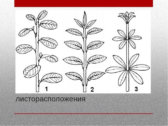 Определите тип листорасположения