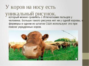 У коров на носу есть уникальный рисунок. который можно сравнить с отпечатками
