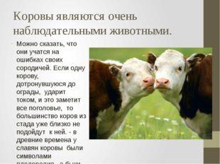 Коровы являются очень наблюдательными животными. Можно сказать, что они учатс