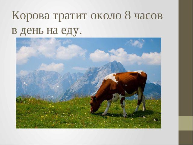 Корова тратит около 8 часов в день на еду.