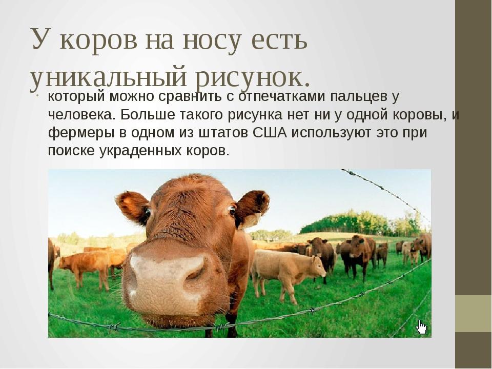 У коров на носу есть уникальный рисунок. который можно сравнить с отпечатками...