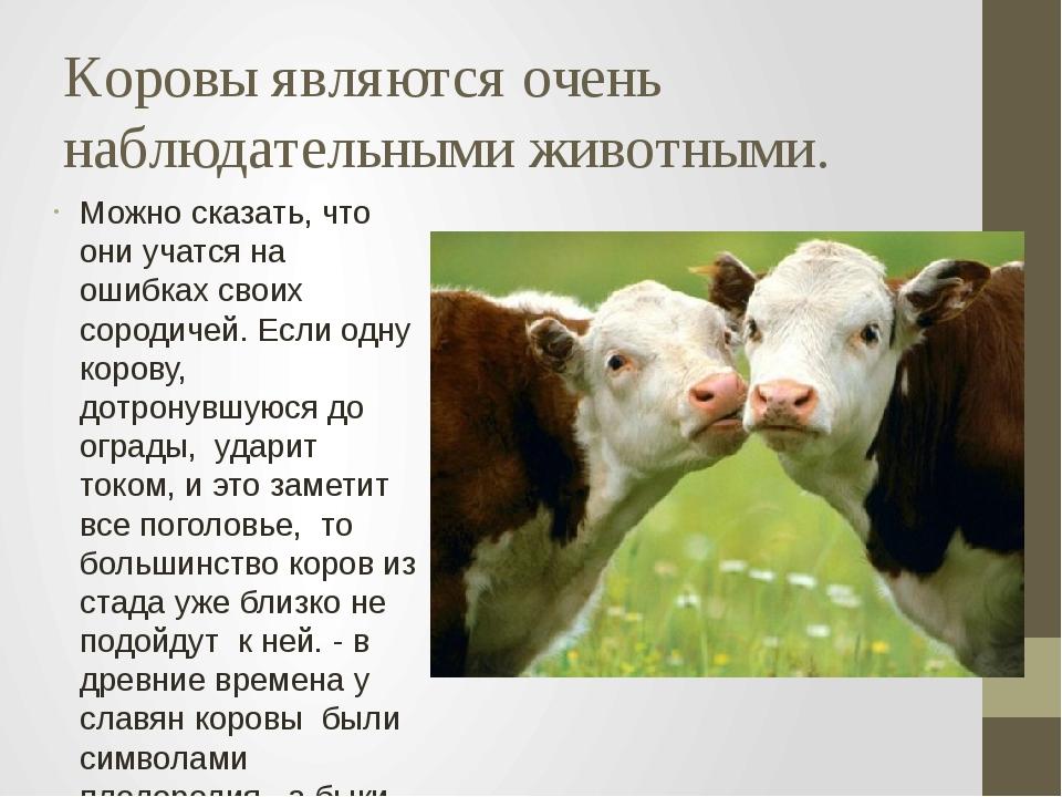 Коровы являются очень наблюдательными животными. Можно сказать, что они учатс...