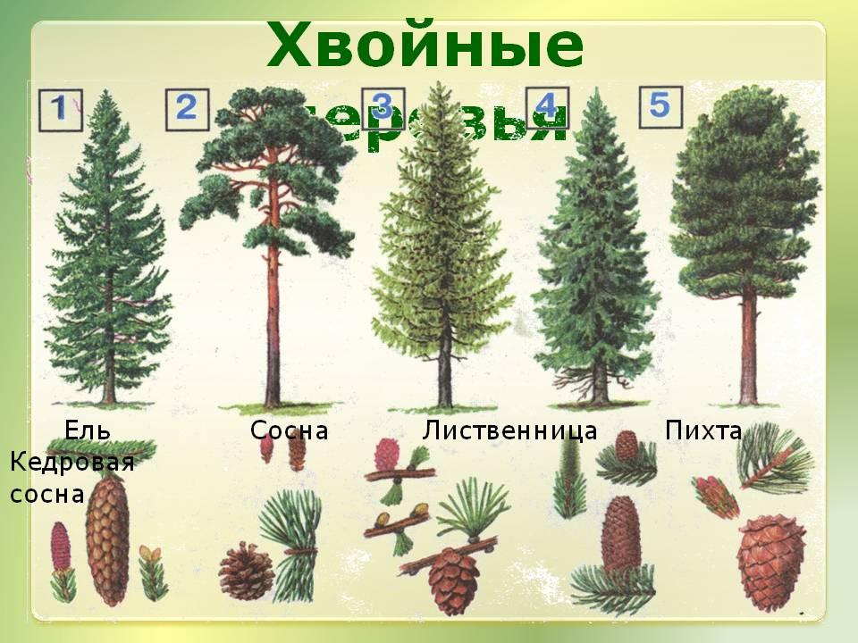 Výsledek obrázku pro хвойные деревья