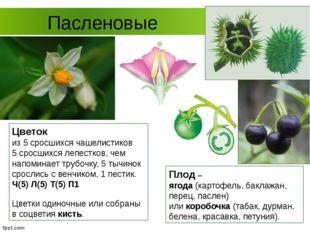 Пасленовые Цветок из 5 сросшихся чашелистиков 5 сросшихся лепестков, чем напо