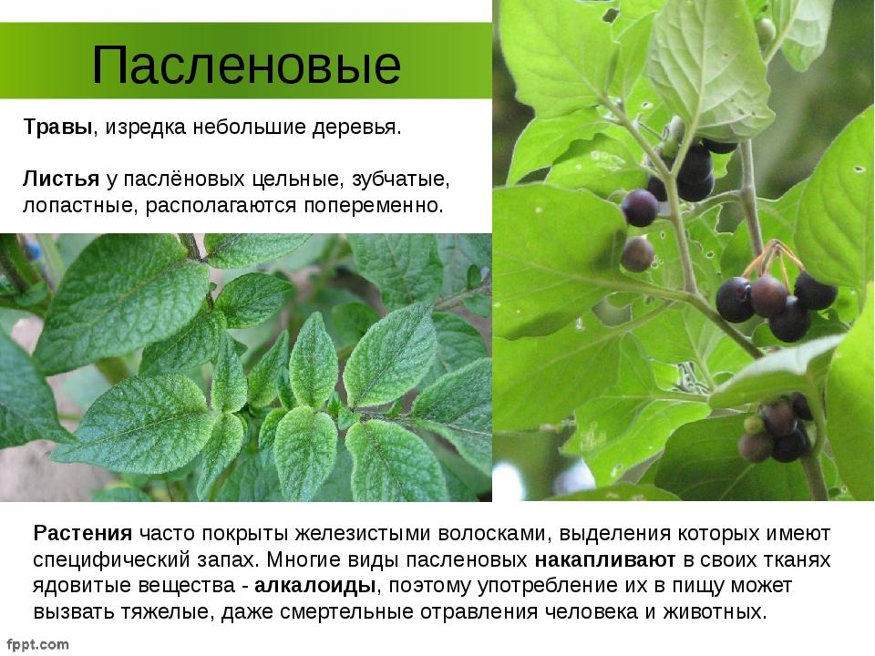 Пасленовые Растения часто покрыты железистыми волосками, выделения которых им...