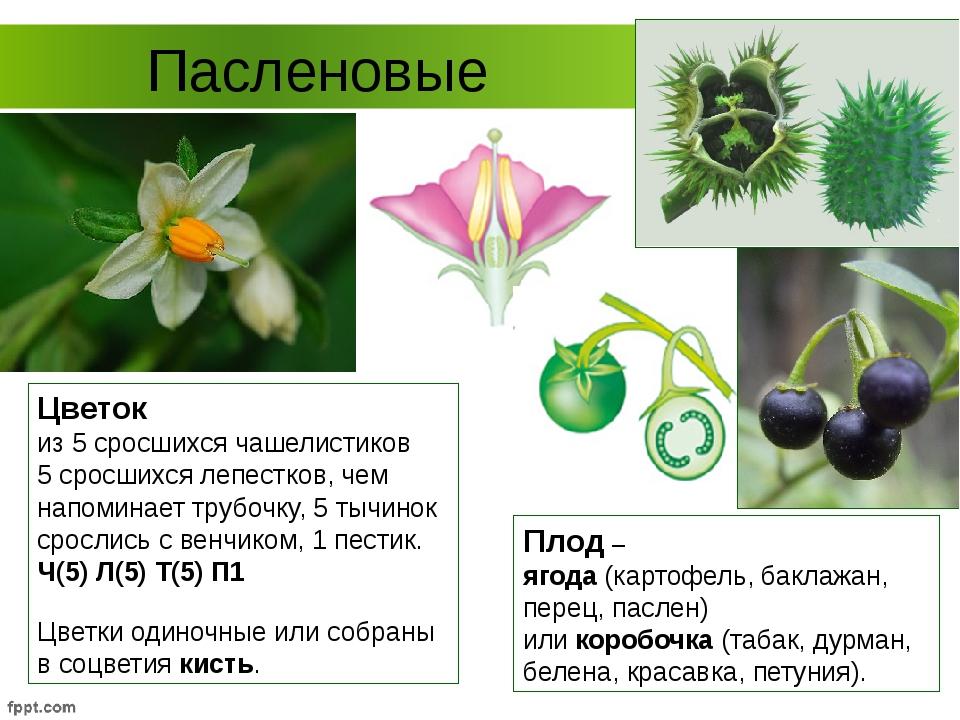 Пасленовые Цветок из 5 сросшихся чашелистиков 5 сросшихся лепестков, чем напо...