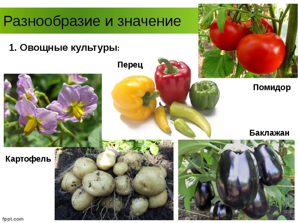Разнообразие и значение Картофель Помидор Перец Баклажан 1. Овощные культуры: