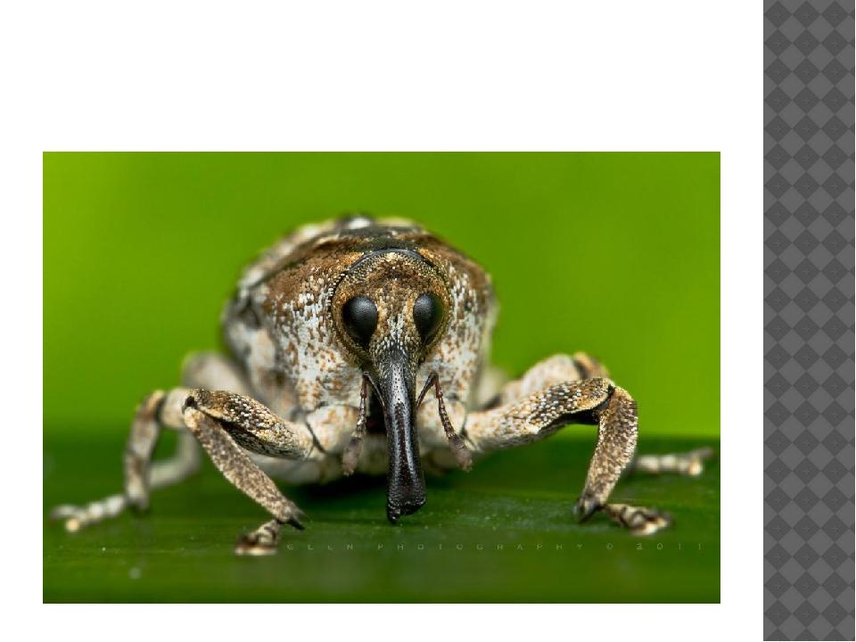 Клеверный долгоносик — крошечный черный жучок из семейства долгоносиков, или...