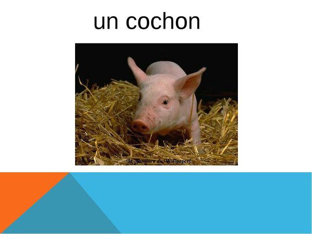un cochon