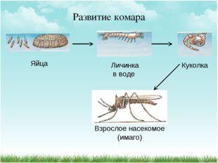 Развитие комара Яйца Личинка Куколка Взрослое насекомое (имаго) в воде