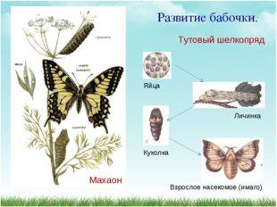 Развитие бабочки. Яйца Личинка Куколка Взрослое насекомое (имаго) Тутовый шел