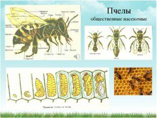 Пчелы общественные насекомые