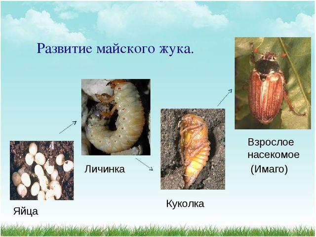 Развитие майского жука. Яйца Личинка Куколка Взрослое насекомое (Имаго)