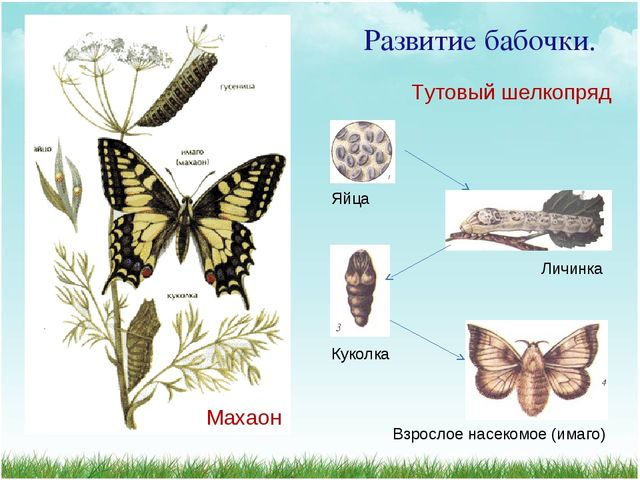 Развитие бабочки. Яйца Личинка Куколка Взрослое насекомое (имаго) Тутовый шел...