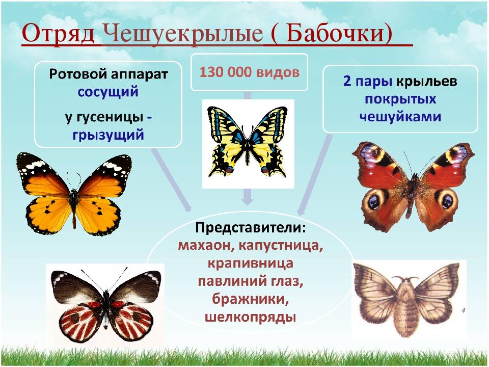 Отряд Чешуекрылые ( Бабочки)