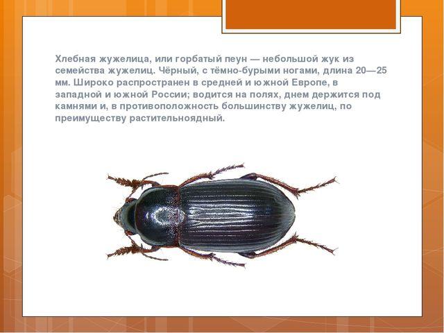 Хлебная жужелица, или горбатый пеун — небольшой жук из семейства жужелиц. Чёр...
