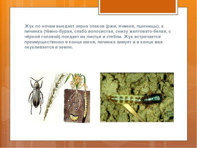 Жук по ночам выедает зерна злаков (ржи, ячменя, пшеницы), а личинка (тёмно-бу...