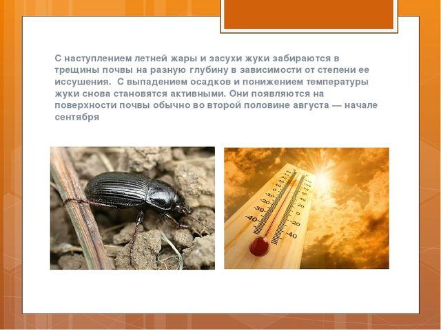 С наступлением летней жары и засухи жуки забираются в трещины почвы на разную...