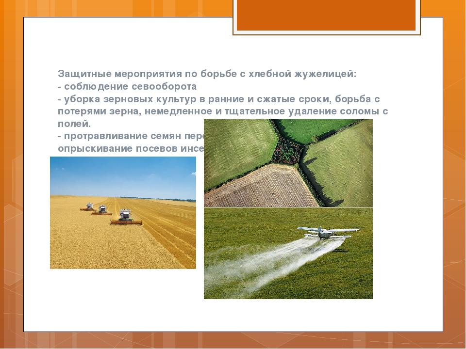 Защитные мероприятия по борьбе с хлебной жужелицей: - соблюдение севооборота...