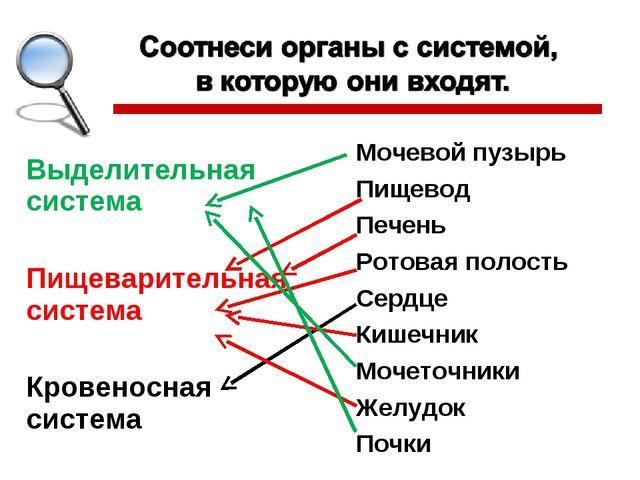 Выделительная система Пищеварительная система Кровеносная система Мочевой пуз...