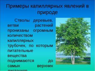 Примеры капиллярных явлений в природе Стволы деревьев, ветви растений прониза