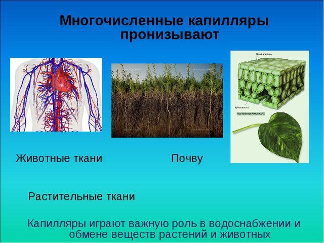 Многочисленные капилляры пронизывают Животные ткани Почву Растительные ткани...