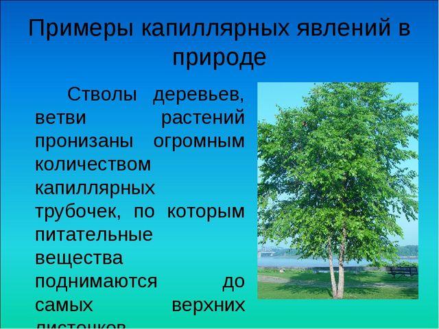 Примеры капиллярных явлений в природе Стволы деревьев, ветви растений прониза...