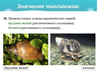10. Промежуточные хозяева паразитических червей: прудовик малый(для печеноч