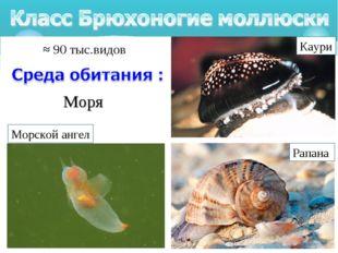 Моря Рапана Каури Морской ангел ≈ 90 тыс.видов