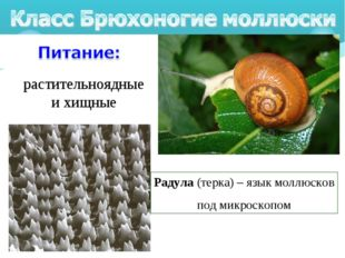растительноядные и хищные Радула (терка) – язык моллюсков под микроскопом