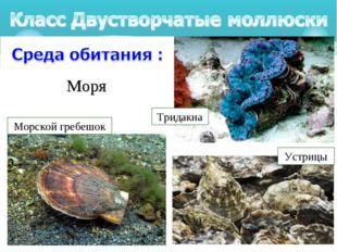 Моря Тридакна Морской гребешок Устрицы
