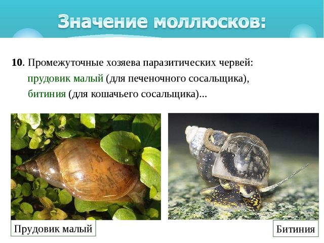 10. Промежуточные хозяева паразитических червей: прудовик малый(для печеноч...