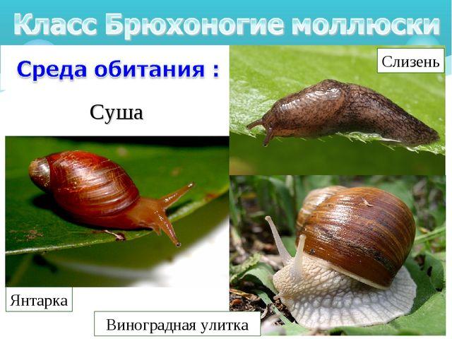 Суша Прудовик большой Виноградная улитка Слизень Янтарка