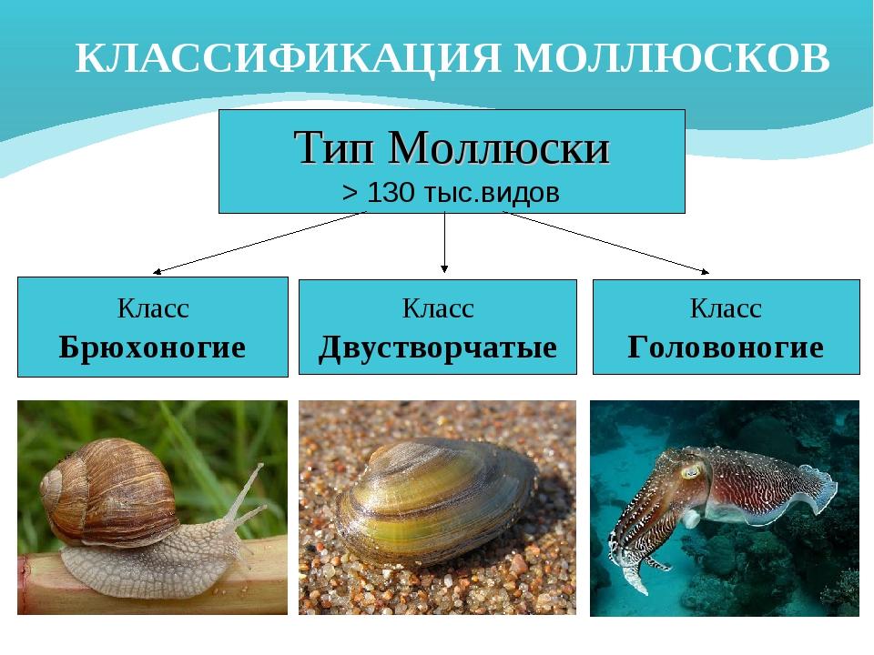 КЛАССИФИКАЦИЯ МОЛЛЮСКОВ Тип Моллюски > 130 тыс.видов Класс Брюхоногие Класс Д...